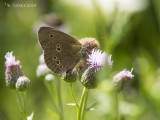 Koevinkje - Ringlet - Aphantopus hyperantus