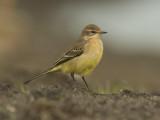 Gele Kwikstaart - Yellow Wagtail - Motacilla flava