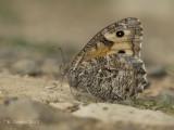 Balkanheivlinder - Delattin's Grayling - Hipparchia volgensis
