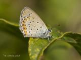 Kroonkruidblauwtje - Reverdin's Blue - Plebejus argyrognomon