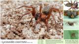 Lycosoides coarctata FA.jpg