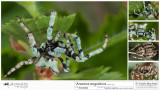 Araneus angulatus  FA.jpg