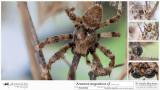 Araneus angulatus cf  MA.jpg