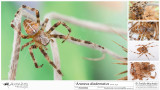Araneus diadematus  FA.jpg