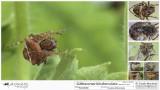 Gibbaranea bituberculata  FA.jpg