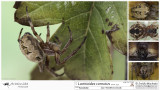 Larinioides cornutus  FA.jpg