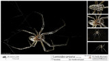 Larinioides sericatus  MA.jpg