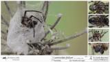 Larinioides folium  MA.jpg