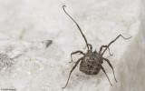 Homalenotus buchneri_0826 EM-96303.jpg