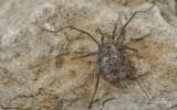 Homalenotus buchneri_0826 EM-96317.jpg