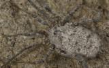 Homalenotus buchneri_0826 EM-96334.jpg