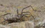 Homalenotus buchneri_0826 EM-96335.jpg