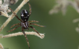Asagena phalerata 0873FA-98148.jpg