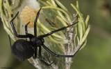 Latrodectus tredecimguttatus 1009FA-96576.jpg