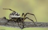 Steatoda albomaculata 0000FA-92295.jpg