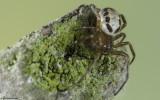 Steatoda nobilis 0000FA-90539.jpg