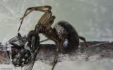 Steatoda nobilis 0000FA-91613.jpg