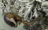 Steatoda nobilis 0000FA-95351.jpg
