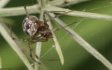 Steatoda triangulosa 0817FA-95718.jpg