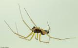 Tenuiphantes tenuis 0466MA-99674.jpg