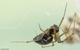 Tenuiphantes tenuis 0500FA-91887.jpg