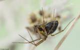 Tenuiphantes tenuis 0500FA-91898.jpg