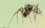 Tenuiphantes tenuis 0500FA-91902.jpg