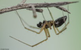 Tenuiphantes tenuis 0640MA-98740.jpg