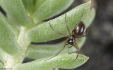 Ostearius melanopygius 1074FA-93391.jpg