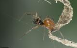 Ostearius melanopygius 1093FA-96105.jpg
