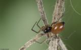 Ostearius melanopygius 1093FA-96115.jpg