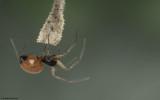 Ostearius melanopygius 1093FA-96147.jpg