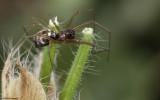 Microlinyphia pusilla 0752FA-93492.jpg