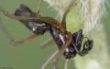 Microlinyphia pusilla 0836MA-96531.jpg