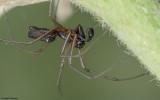 Microlinyphia pusilla 0836MA-96537.jpg