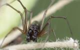 Microlinyphia pusilla 0836MA-96548.jpg