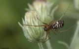 Microlinyphia pusilla 0851FA-97123.jpg