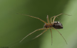 Microlinyphia pusilla 0851FA-97146.jpg