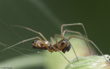 Microlinyphia pusilla 0854MA-97247.jpg