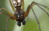 Microlinyphia pusilla 0854MA-97250.jpg