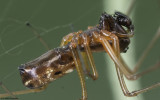 Microlinyphia pusilla 0854MA-97258.jpg