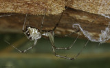 Linyphia tenuipalpis 0000FA-0062272.jpg