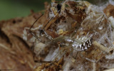 Linyphia tenuipalpis 0000FA-0062282.jpg