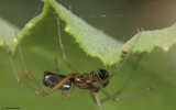 Frontinellina frutetorum 1276MA-98774.jpg