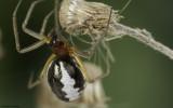Frontinellina frutetorum 1277FA-98810.jpg