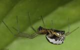 Frontinellina frutetorum 1277FA-98854.jpg