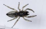 Salticus propinquus .0281FA-90509.jpg