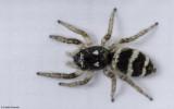 Salticus propinquus .0281FA-90513.jpg