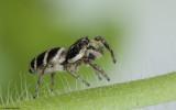 Salticus propinquus .0677FA-90169.jpg