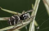 Salticus propinquus .0814FA-95614.jpg